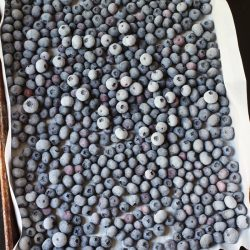 frozen blueberries on a lined tray