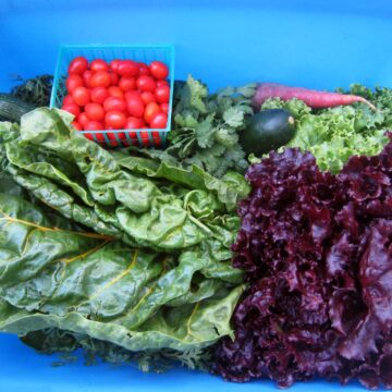 blue csa box filled with tomatoes, chard, lettuce, carrots, and more.